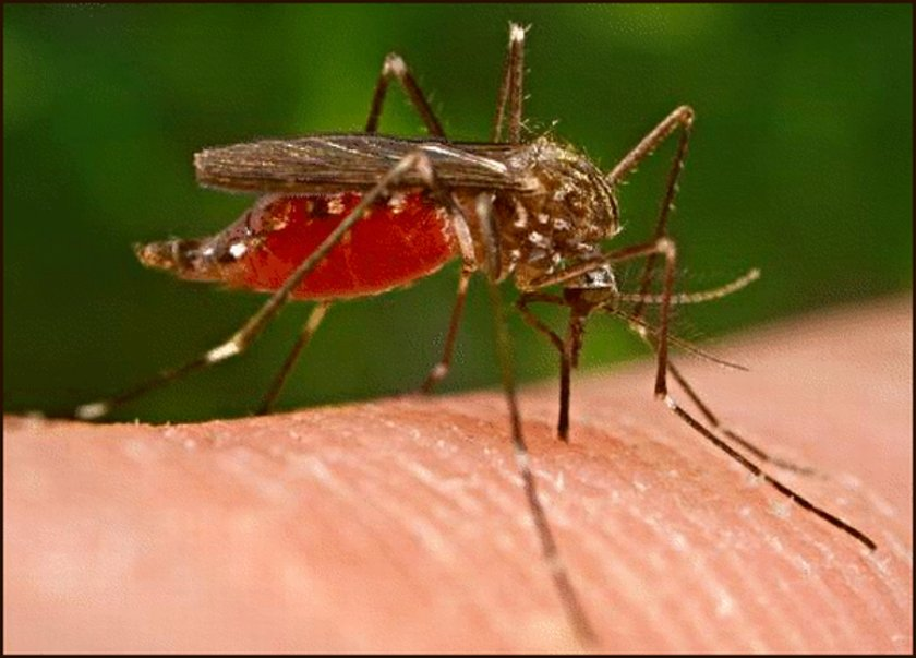 Hamile kadınların karın bölgesinde yaklaşık 1 derecelik daha yüksek sıcaklık olduğundan, bu, vücudun, ter yoluyla, sivrisineklere çekici gelen maddeler salgılamasına yol açıyor.