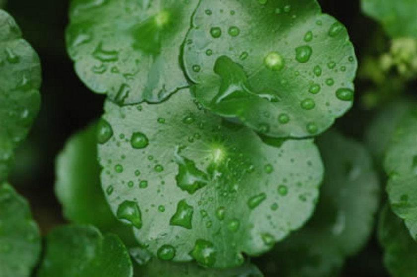Spirinula tatlı su yosunu...