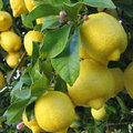 Limonun birçok vasfı sayılabilir ama en ilginci urlar, yumrular, kistler, tümörler üzerindeki etkisidir. Çok yüksek tansiyona karşı kan basıncını düzene sokar. Anti-depresandır Strese ve asabi bozukluklara karşı iyi gelir. \n