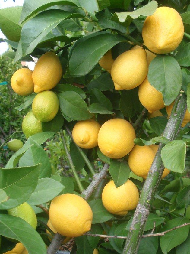 Büyük olasılıkla, limon denince sadece limon suyu ve C vitamini aklınıza gelir. Sadece bu kadar olduğunu düşünürsünüz. Artık limonun gizemlerini öğrenince onu kupada içeceğiniz hazır çorbalarınıza bile katabileceksiniz.