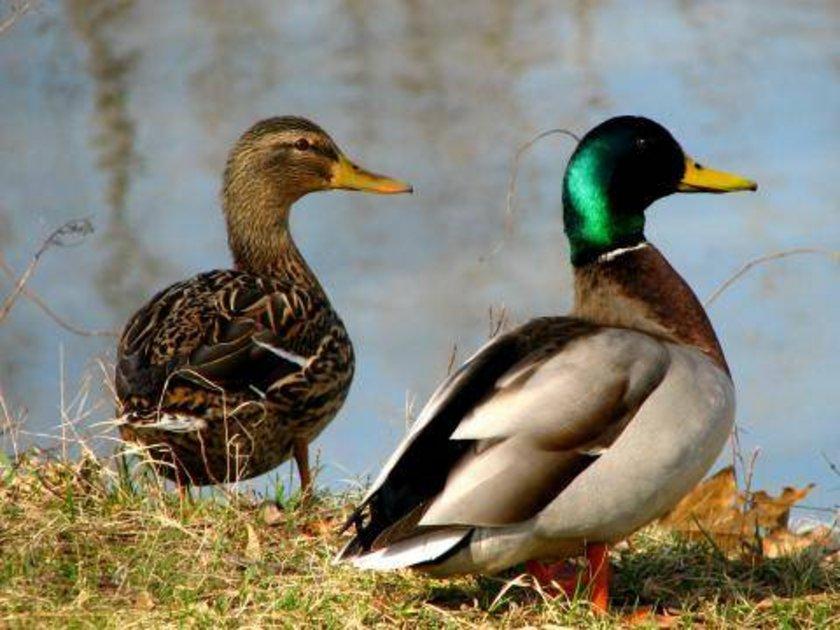 Kendilerini tehlikede hisseden ördekler, yaşama güdüsüyle uyku ihtiyaçlarını dengeleyebiliyor. Yani yarı uykulu-yarı uyanık bir aşamaya geçebiliyorlar.\n\n