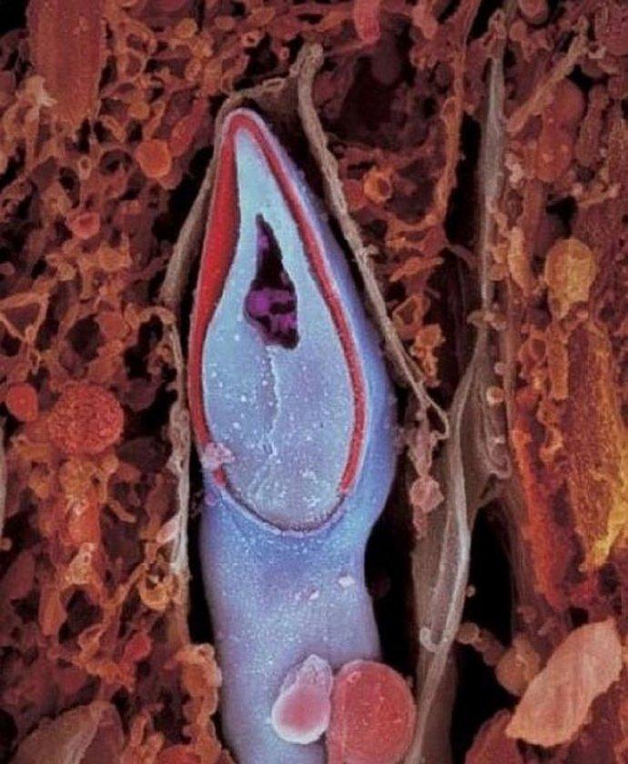 <p>Sperm hücresi. Başının içerisinde tüm genetik materyali taşıyor.</p>