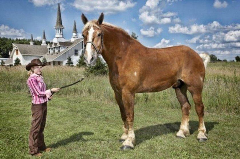 Yaşayan en uzun boylu at Big Jake . Belçika cinsi 9 yaşındaki bu iğdiş atın boyu nalsız 210.19 cm. ABD'nin Wisconsin eyaletindeki Smokey Hollow Farms'ta yaşıyor.