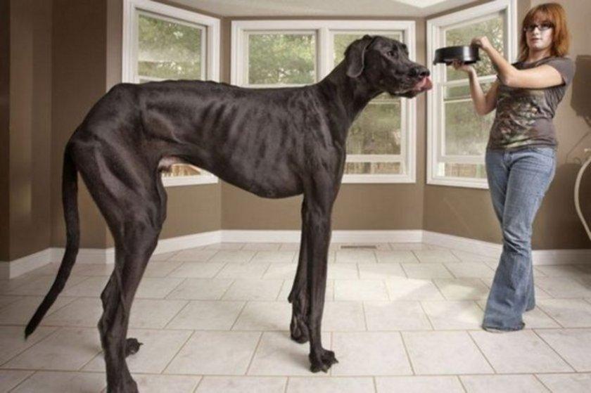 ABD Michigan'da yaşayan 3 yaşındaki danua cinsi köpeğin patilerinden omzuna kadar olan boyu 1,12 metre, burundan kuyruğa kadar uzunluğu ise 2 metreyi geçiyor. Köpeğin sahibi Denise, rekortmen köpeğin 70,3 kg ağırlığında olduğunu söyledi.