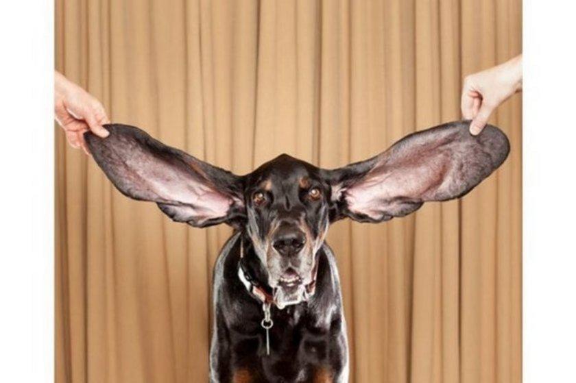 Harbor isimli bu Coonhound cinsi köpek dünyanın yaşayan en uzun kulaklı köpeği. ABD'nin Colorado eyaletinde yaşayan 8 yaşındaki Harbor'ın sol kulağı 31.1, sağ kulağı ise 34.29 santimetre uzunluğunda.