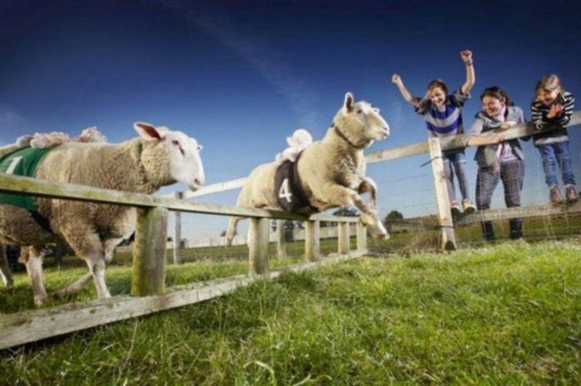 Dünyanın en hızlı koyunu Zippy Lambourghini. High Wycombe, Buckinghamshire, İngiltere'de yaşayan Zippy Lambourghini katıldığı 179 yarıştan 165'inde foto finişi önde geçti.