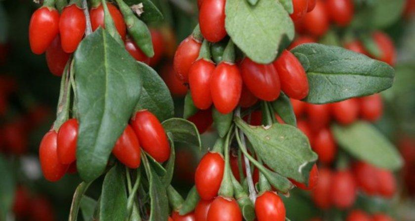 Uslu, küçük yumuşak meyveleri olan goji berrynin bin 700 yıl boyunca Tibet'te üretildiğini,