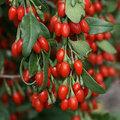 Goji berry, Tibet'te kolesterolü ve kan basıncını düşürmek için kullanılıyor, ayrıca kanı temizleme özelliği de bulunuyor\