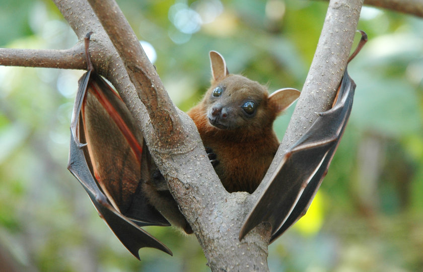 4-Hayvanlardan geliyor: Bu bilgi %100 kesin olmamakla beraber, Afrika'da günümüzde yayılan Ebola hastalığının hayvanlardan, özellikle meyve yarasalarından ortaya çıktığına dair kanıtlar bulunuyor.