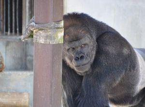Yakışıklı gorile ilgi büyük!