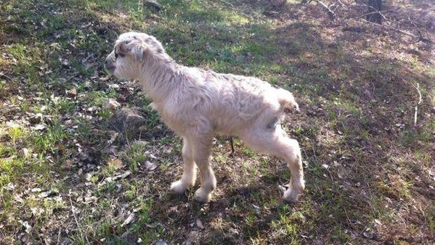 Amasya'da 12 saatlik keçi kurtarma operasyonu