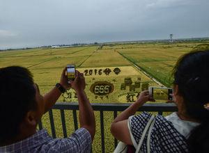 Pirinç tarlasına 3 boyutlu resim çizdiler