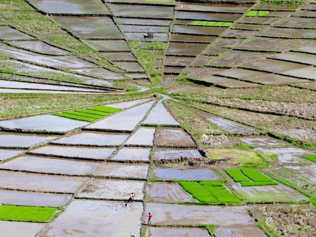 'Örümcek ağı' pirinç tarlaları Flores, Endonezya -Fotoğraf: Wendy Sinclar