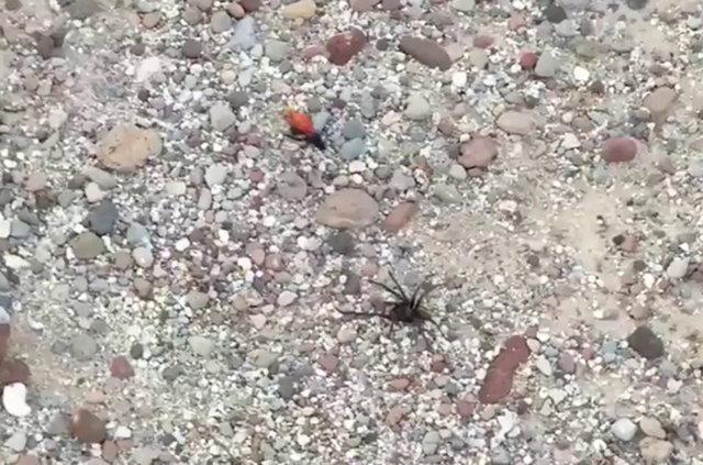 Tarantula en büyük kabusuyla karşılaşınca!