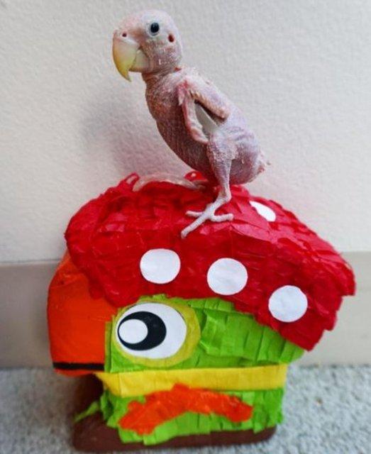 Instagram hesabında 122 bin takipçisi olan Rhea adlı minik papağan sosyal medyanın yeni fenomeni haline geldi. İşte virüs nedeniyle tüyleri dökülen sevimli papağanın Instagram hesabında yayınlanan fotoğrafları...