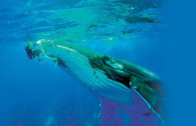 Yeni Zelanda açıklarında bir kambur balina, kendisini inceleyen bilim insanını köpek balığından kurtardı. Yeni Zelanda'ya bağlı Cook Adaları'nda yaşayan Nan Hauser, okyanus açıklarında bir balinayı incelemek üzere dalış yaptı.