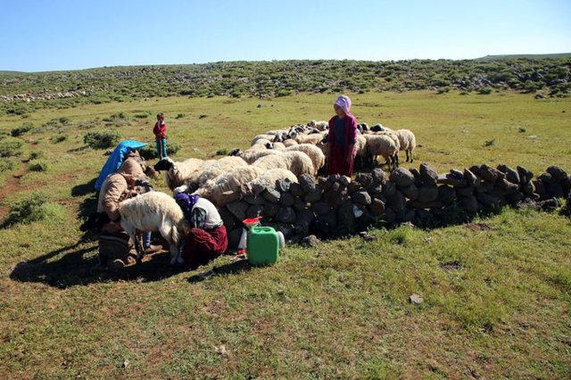Diyarbakır'ın Çınar ilçesinin Karacadağ eteklerinde, hayvanlarından daha iyi verim alabilmek için yılın yedi ayını yaylada kurdukları çadırlarda geçiren göçerler, sabahın erken saatlerinde başladıkları mesailerini akşama kadar sürdürüyor.