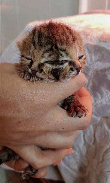 Avustralya'da dünyaya gelen bu yavru kedinin 2 tane yüzü var.