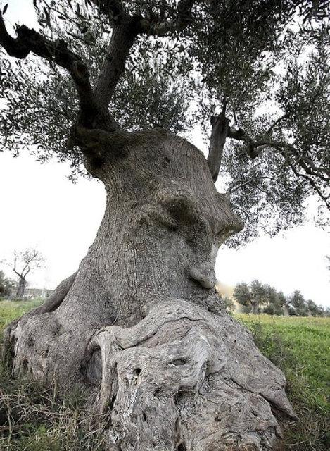 İnsan suratını andıran, ejderha gibi görünen bu ağaçlara dikkatlice bakmamak elde değil...