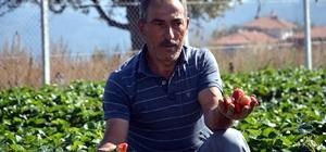 DODURGA'DA SON ÇİLEK HASADI YAPILDI