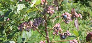 Fındık üreticisine üzümsü meyveler destek olacak
