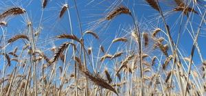 TMO, Konya'nın 6 ilçesinde üreticiden 20 bin ton hububat ürünü aldı
