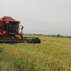 İspala'da çeltik hasadı başladı