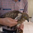 Malatya'da tedavi edilen doğan, doğaya salındı