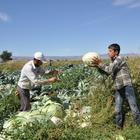 Muş'ta lahana hasadına başlandı