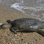 Mersin sahilinde ölü Nil kaplumbağası bulundu