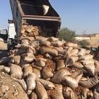 Silopi'de 43,5 ton ceviz imha edildi