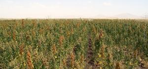 """Ağrı'da """"kinoa""""nın ekim alanı genişliyor"""