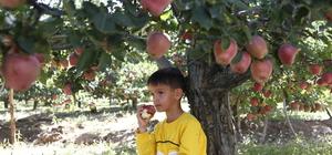 """""""Göksun'un elması"""" lezzetini rakımdan alıyor"""