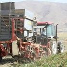 Muradiye'de şeker pancarı üretimi arttı