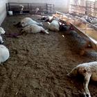 Konya'da kurtlar 20 koyunu telef etti