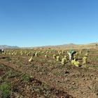Ahlat patates hasadı