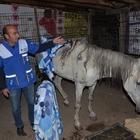 Bingöl'de yaralı bulunan atlar Tatvan'a getirildi