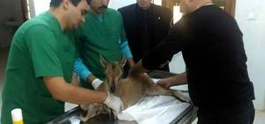 Yaralı yavru yaban keçisi tedavi ediliyor