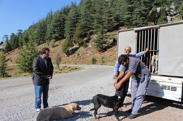 Büyükşehir Belediyesi, sahipsiz köpeklere sahip çıkıyor
