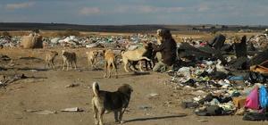 Çöplükteki sokak hayvanlarının bakıcısı oldu