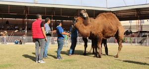 Kumluca'da develer güreş antrenmanına çıktı