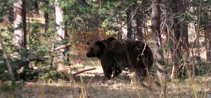 Göç eden boz ayılar, kış uykusuna çekildi