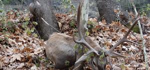 Domaniç'te minübüsün çarptığı geyik telef oldu