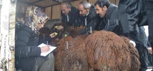Eleşkirt'te Genç çiftçi Projesi Kapsamında hayvanlar Teslim Edilmeye Başlandı