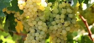 Ege'den dünyaya kiraz ve üzüm ihraç edilecek
