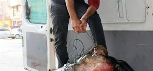 Salihli'de 110 kiloluk yayın yakalandı