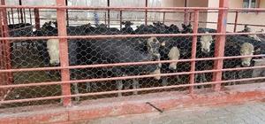 Adilcevaz'da genç çiftçilere hayvanları dağıtıldı