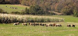 Büyükşehir, et üreticilerinin yem sorununu çözdü