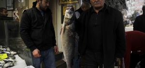 Karadeniz'de 5 kiloluk levrek yakalandı