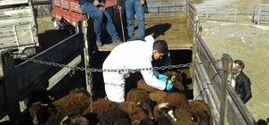 Tuzluca'da 12 çiftçiye 480 küçükbaş hayvan dağıtıldı